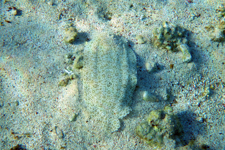 plaice: A plaice in the Red Sea Stock Photo
