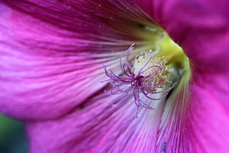Close up of a pink hollyhock photo