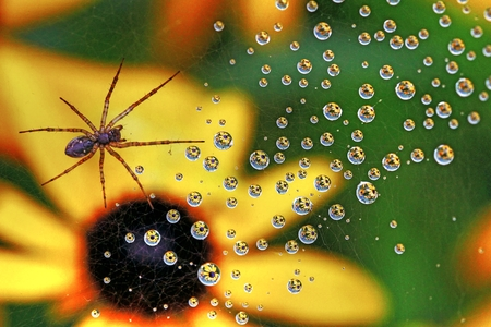 araneae: An orb weaver spider in the network. On the cobweb reflected in the raindrops yellow flowers