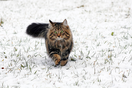 a young brown norwegian forest cat running through the snow. a young Norwegian forest cat in winter