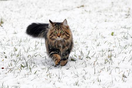 een jonge bruine noorse boskat loopt door de sneeuw. een jonge Noorse boskat in de winter Stockfoto
