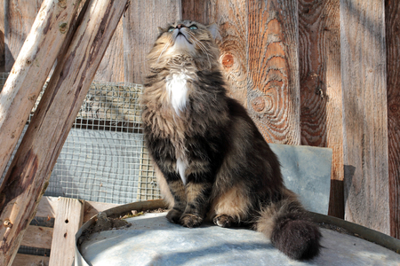 interested: A Norwegian Forest cat looks interested to top
