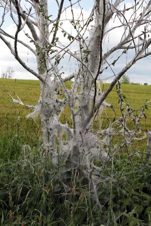 gronostaj: Z winogron wiśniowe drzewo siatkowa ćmy gronostaj. Gąsienice z Gespinstmotte mają drzewa całkowicie kokonie Zdjęcie Seryjne