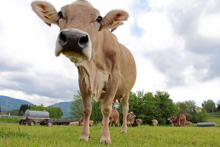 cow tongue: An inquisitive cow in the pasture. Wide Shot of a Bavarian cow