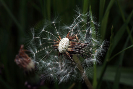 fade away: A withered dandelion. A dandelion in the evening light