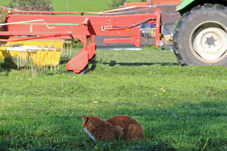 great danger: Mowing in the summer are a great danger to cats. A red cat on mouse hunt in the field