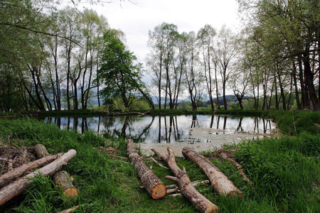 tree felling: Tree felling on a lake in Bavaria. By beaver damaged Hardwood