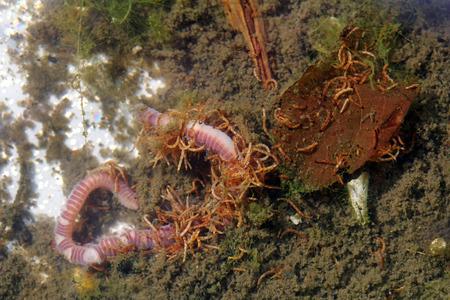 lombriz de tierra: Nematodos rojos pequeños comen en las lombrices de tierra. Lombrices rojas pequeñas en el agua Foto de archivo
