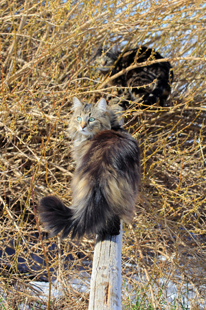lurk: Two cats playing in the garden. Two cats on a wooden pole. Norwegian Forest Cat in the garden