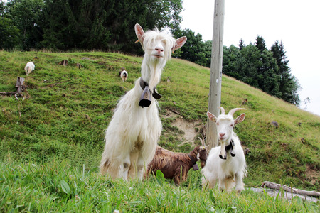 caprine: Long-haired white goat breeds in Bavaria Stock Photo