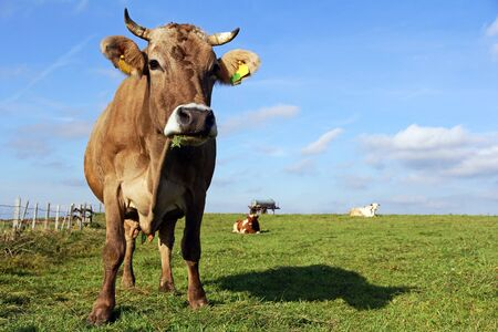 Brown Swiss and Simmental cattle in the pasture