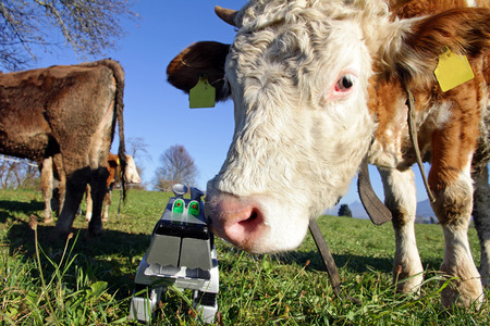 poke: Curious cow with a toy. The robot dog and the cow Stock Photo