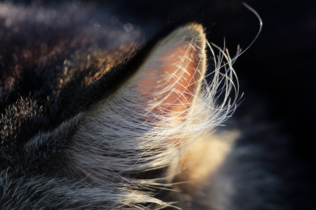perceive: Close up of an ear of a longhaired cat