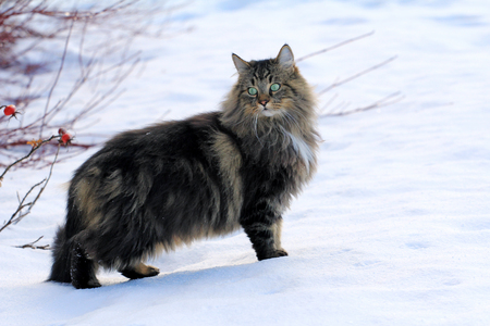 A pretty, young Norwegian Forest Cat in the snow