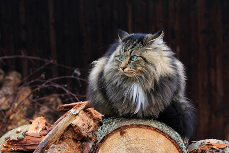 An angry-looking Norwegian Forest Cat on tree trunks. A cat with evil eye on