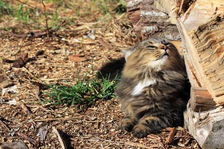 warmth: Well-being in the sun - A young Norwegian Forest Cat enjoys the warmth of the sun