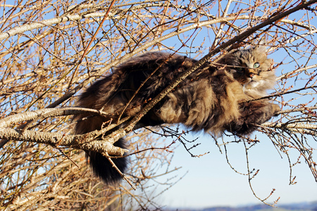 rockclimbing: A Norwegian Forest Cat relaxing on the branches of a tree Stock Photo