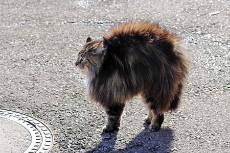 intimidated: A threat of cat makes a hump - The threatening gesture of a cat