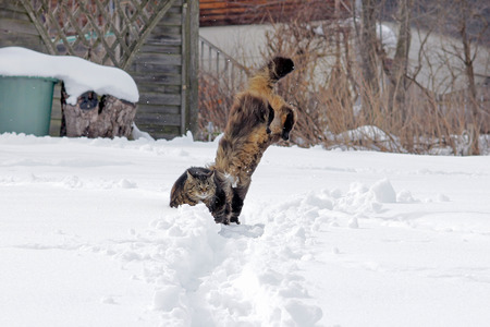 frolicking: Two cats playing and jumping in snow