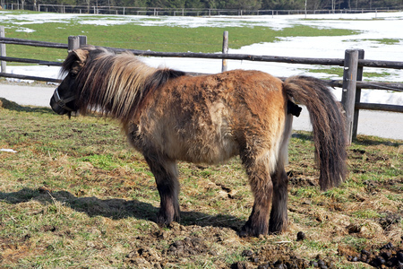 defecate: A pony makes horse manure
