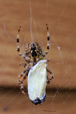arachnida: A spider with great riches. A spider has caught a butterfly