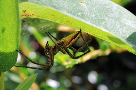 pisauridae: A hunting spider lurks well camouflaged in Their hiding
