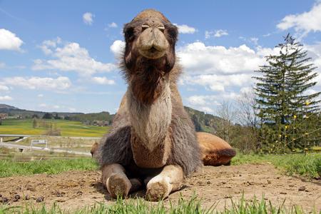 dromedary: A lying female dromedary (camel) in Bavaria