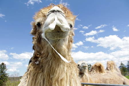 mate: A male Bactrian camel is ready to mate