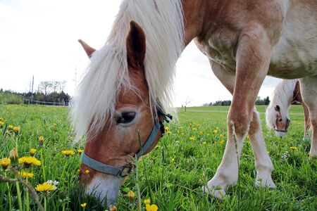light brown horse: Haflinger horses on the spring meadow Stock Photo