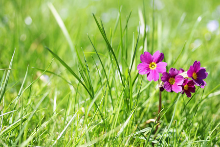 cowslip: A pink primula in a meadow. Cowslip in green grass