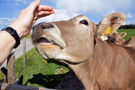 A cow licks the hand of a woman