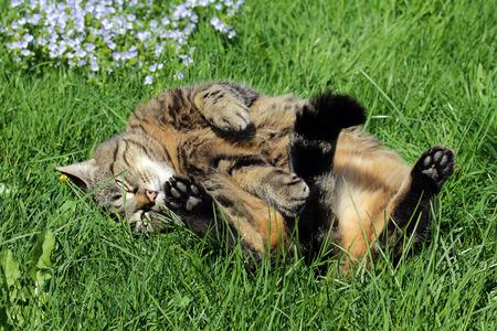 Geniet en voelen - Een kat liggen in de zon en rolde op zijn rug Stockfoto