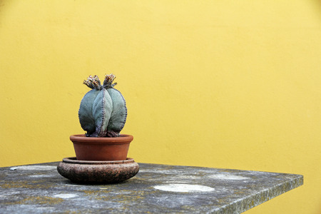 types of cactus: A cactus in a flower pot on a table in front of a yellow wall