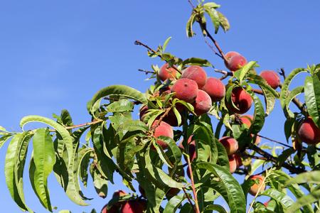 peach tree: A peach tree. Juicy ripe peaches on a tree Stock Photo