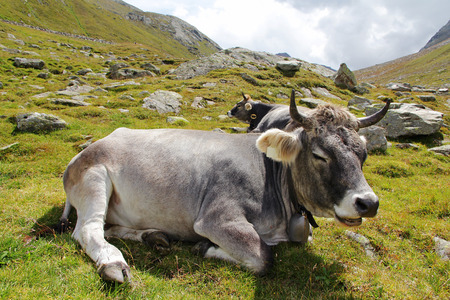A relaxed Grauvieh in the mountains. A gray cattle enjoying the summer on the pasture