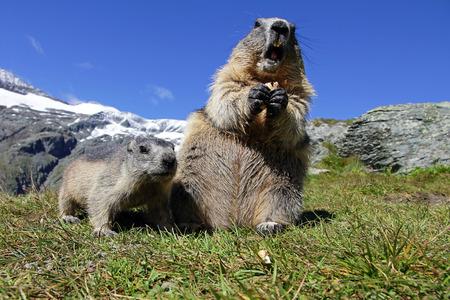 Marmot familie in de bergen. Een vrouwelijke marmot met welp