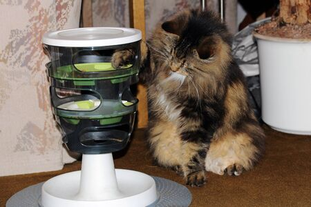 A Norwegian forest cat Retrieves dry food from a feed container