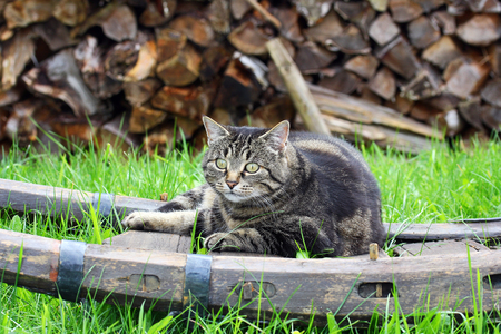 A curious cat is lying in the garden on a wooden cart Stock Photo