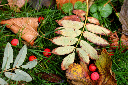 would: Autumn foliage and rowanberries with raindrop. Coloured variety in autumn Stock Photo