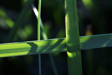 The crossed grasses. Two blades of grass cross eachother