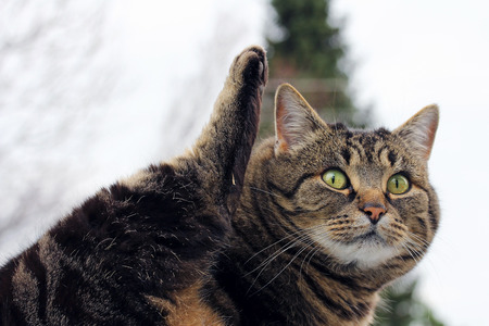 Funny cat photo. A small fat cat lifts her hind-tail in the air Stock Photo
