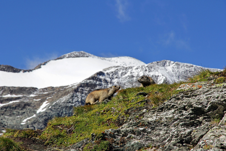 Two marmots in the spring in the mountains Stock Photo