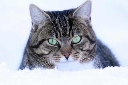 curiously: A male cat looks curiously out of the snow. A curious cat in winter Stock Photo