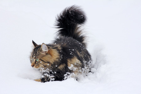 A young Norwegian forest cat in deep snow Stock Photo