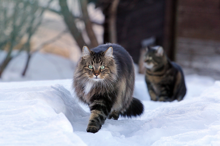 Two cats running through the snow. A Norwegian forest cat has fun in the snow