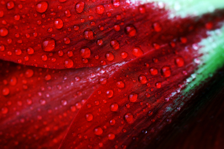 Rain drops on a red bloom