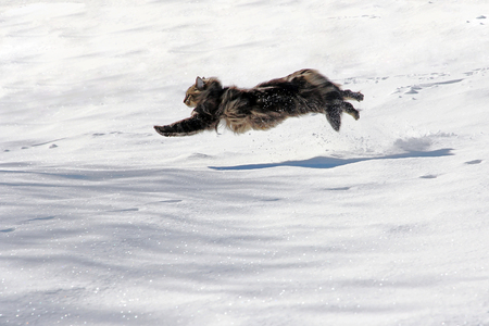 A Norwegian forest cat running with big jumps by the snow Stock Photo