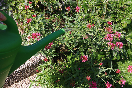 Summery flowering with the watering can. A woman pours her flowers and the garden when dry