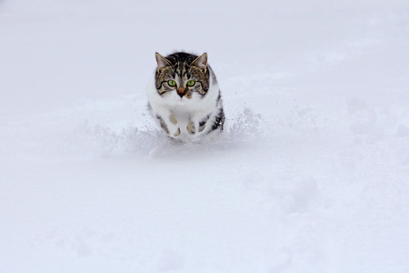 A small cat bounces happily through the snow in winter Stock Photo