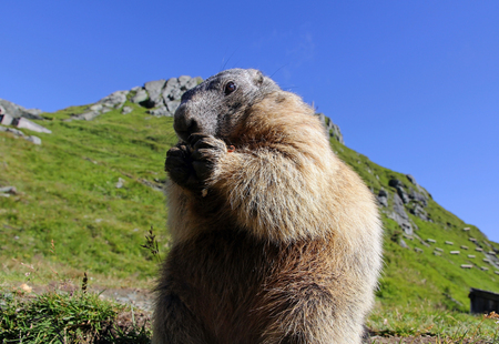 tummy time: A standing marmot in the mountains eats with its paws